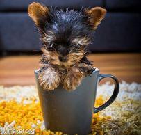 世界最小的狗